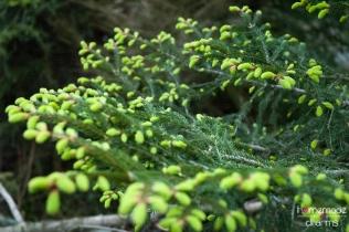 Maiwipferl-Saft_Baum